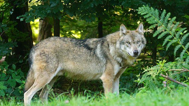 Ein Wolf am Waldrand